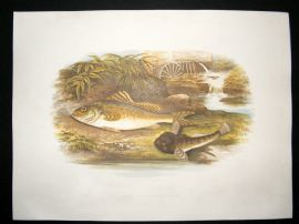 Houghton 1879 Folio Antique Fish Print Ruffe & Miller's Thumb